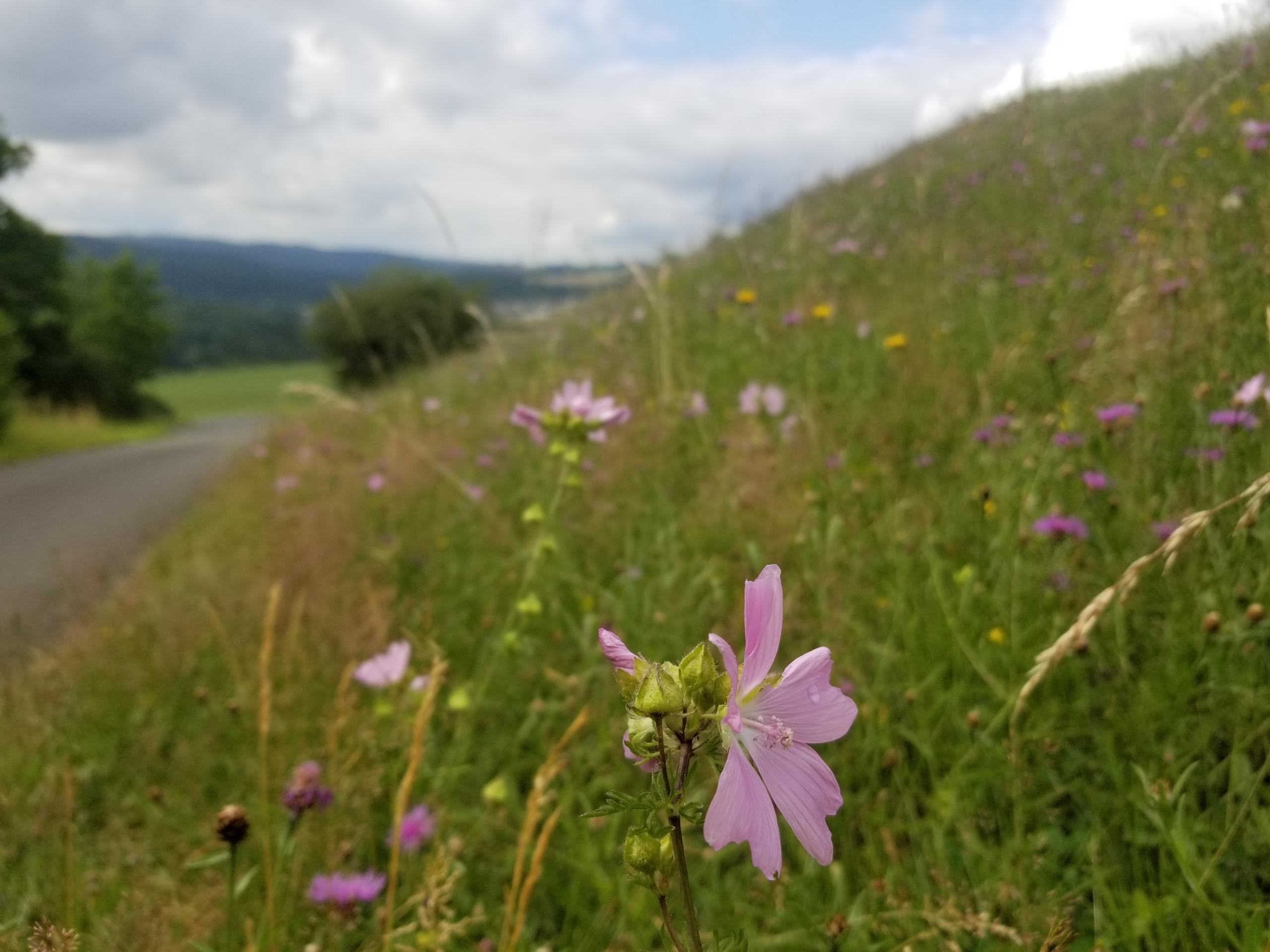 Flowering fields near Gerolstein