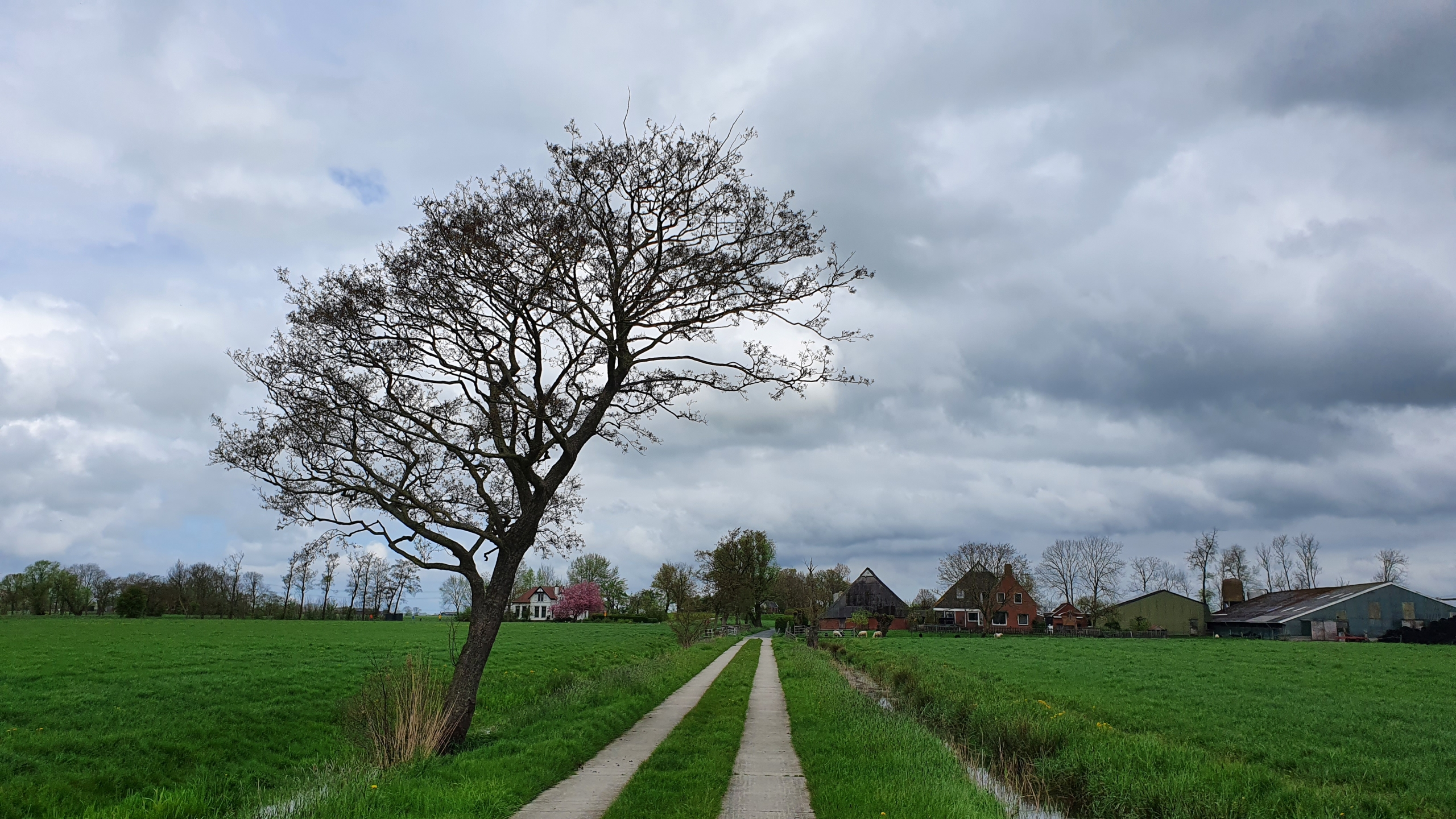 Eenzame boom nabij Oostum